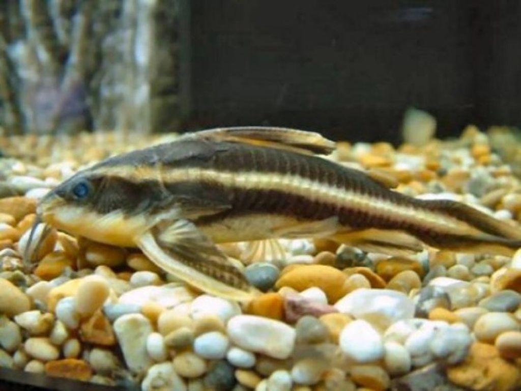 Дно аквариума лучше всего засыпать крупным песком или галькой