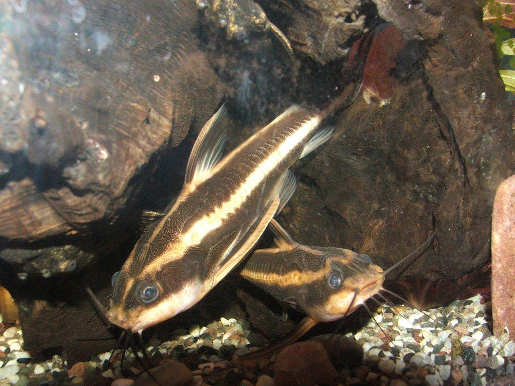 Для нереста полосатого платидораса необходимо оборудовать отдельный аквариум