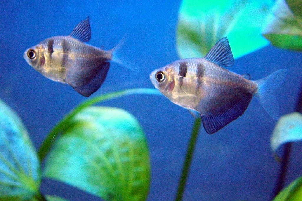 Для разведения пару тернеций отсаживают в аквариум объемом 30-40 литров