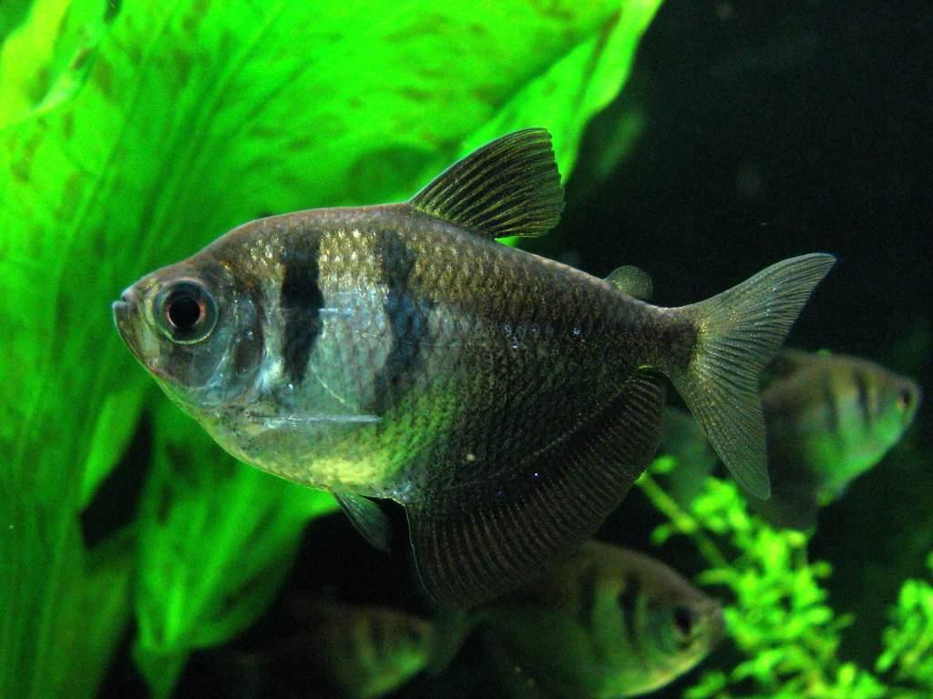 В аквариуме тернеция может вырасти до 6 см в длину