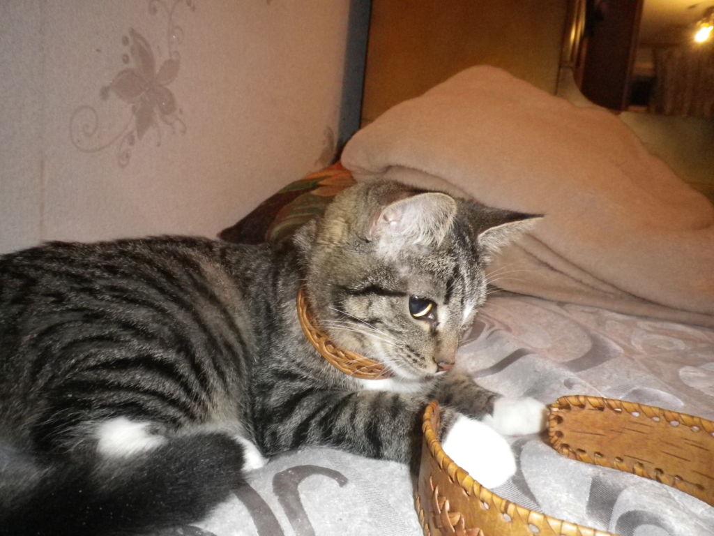 Калифорнийская сияющая кошка играет с ремнем