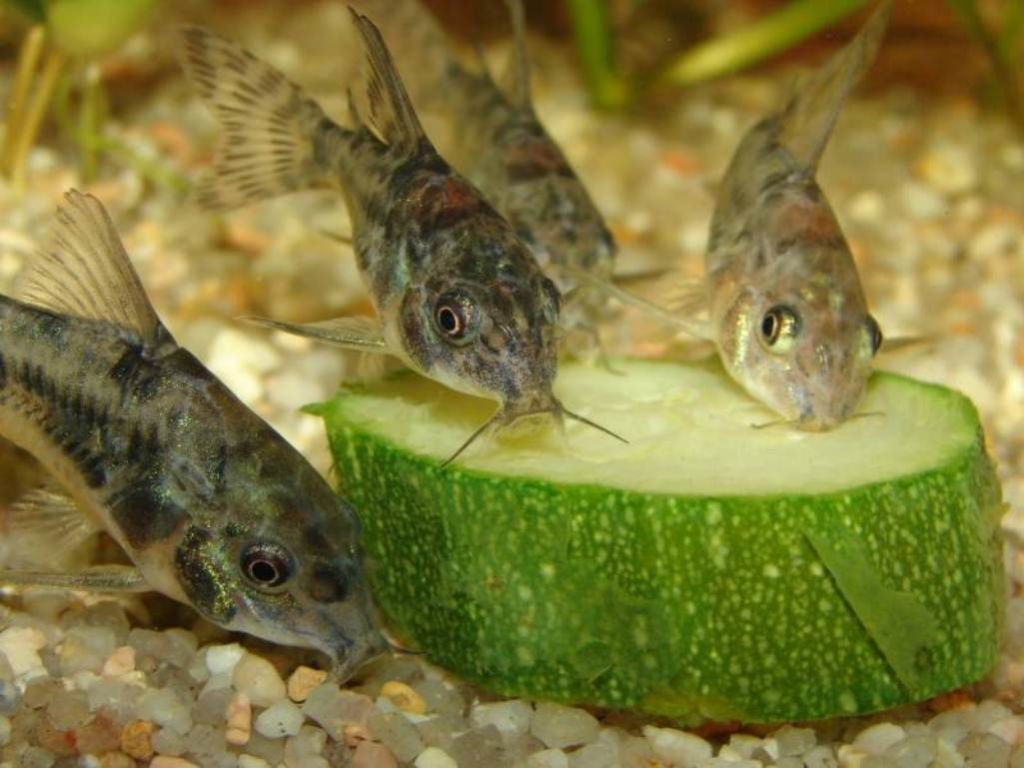 Крапчатые сомики едят кабачки