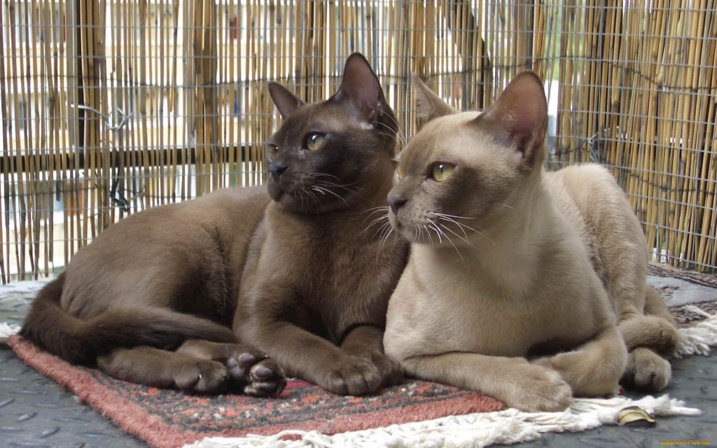 Пара Бурманских котов