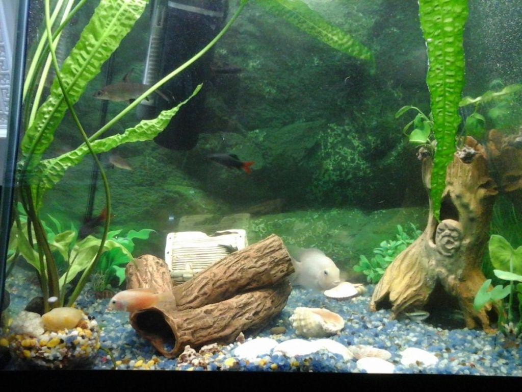 Цихлазом Фламинго в аквариуме с другими рыбками