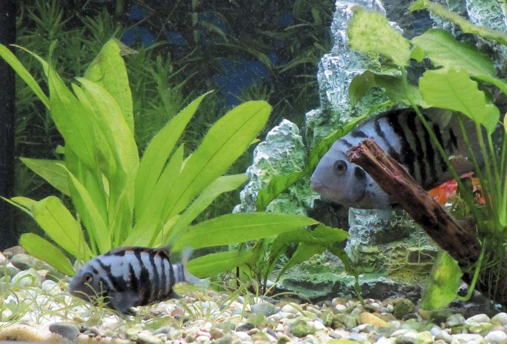 Цихлазомы чернополосые в аквариуме