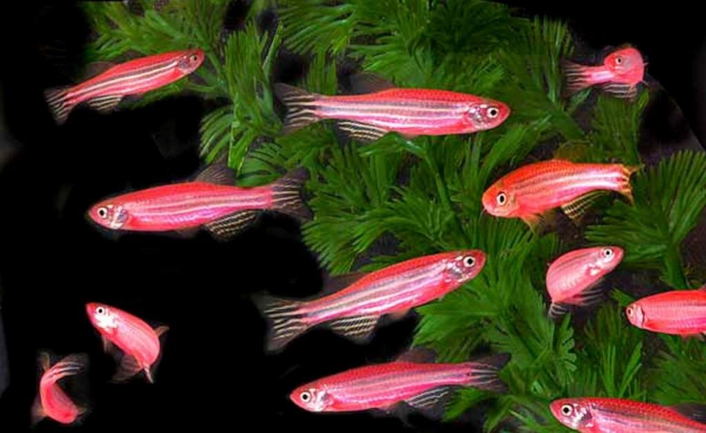 Стайка розовых рыбок данио