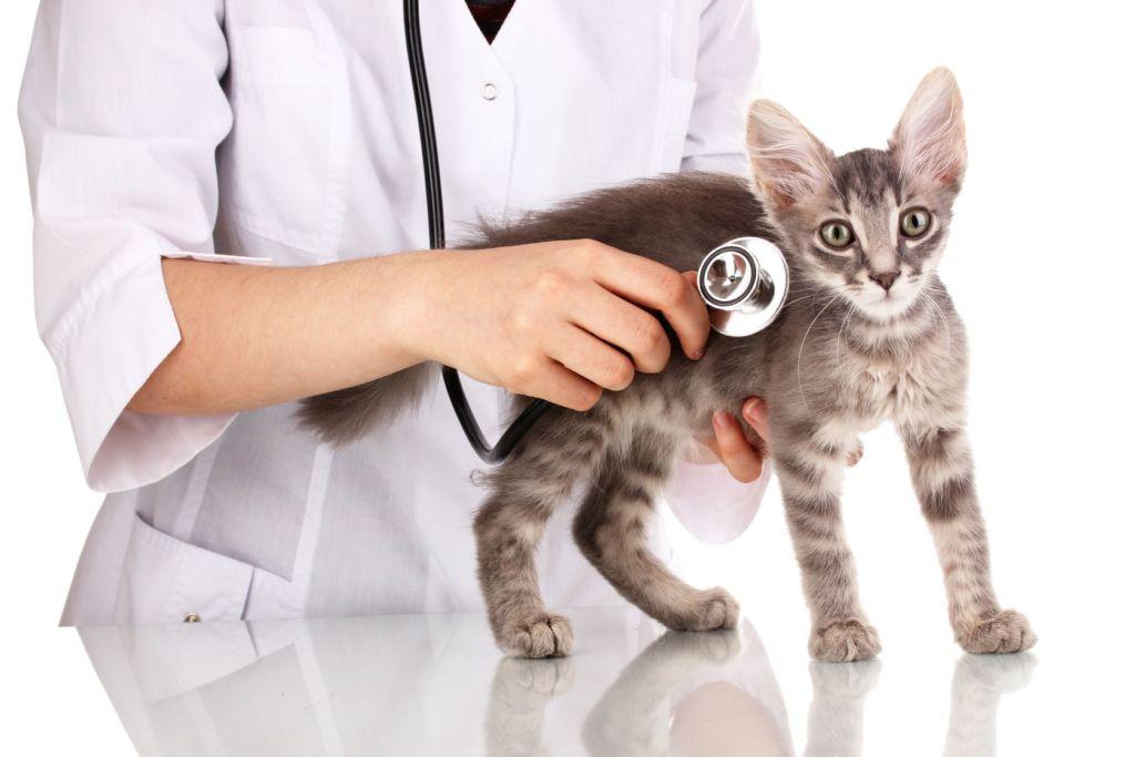 Обследование кошки у ветиринара