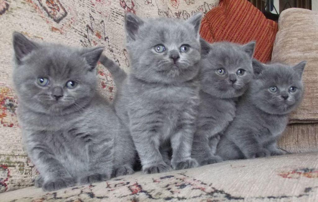 Питание котят нибелунгов