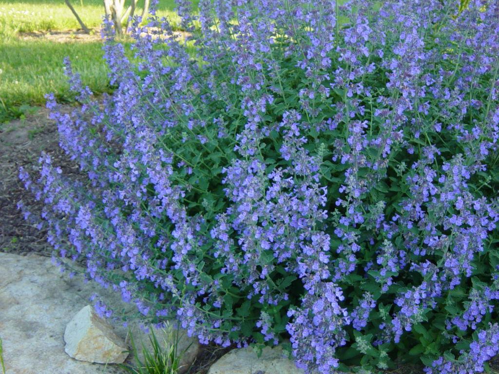 Кошачья мята - высокая трава с сиреневыми цветками