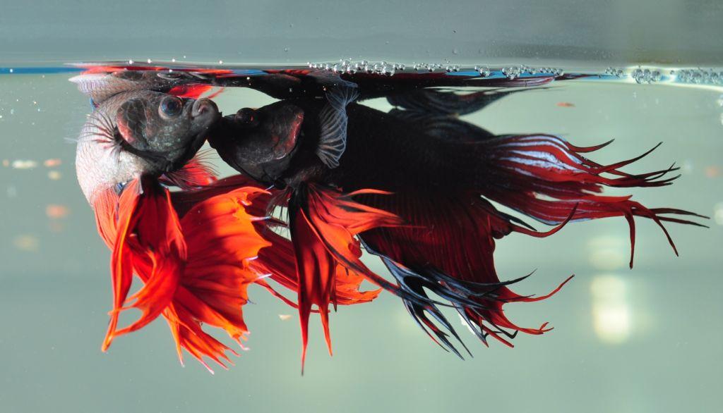 Рыбка петушок обладает довольно агрессивным характером