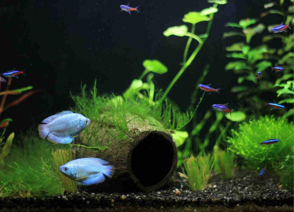 Гурами может сосуществовать с большинством видов рыб