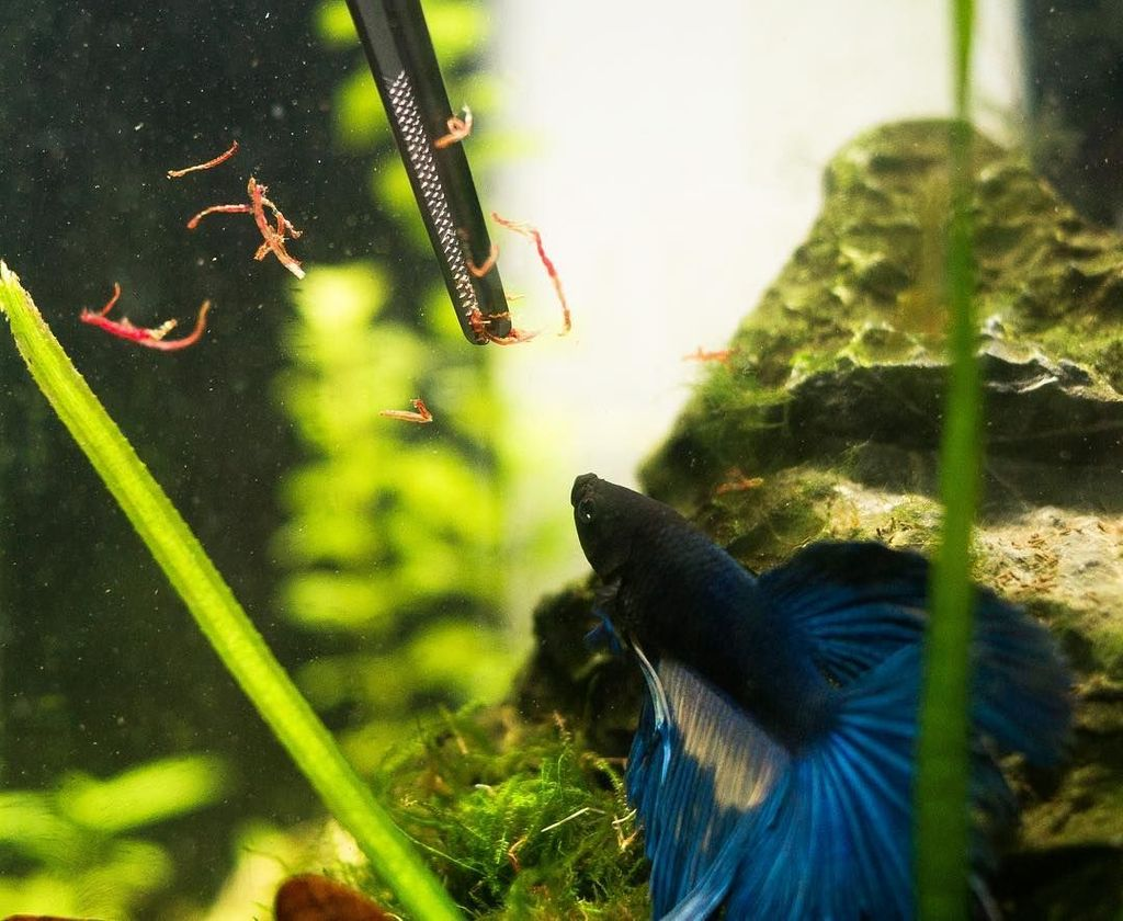 В еде рыбки петушки неприхотливы