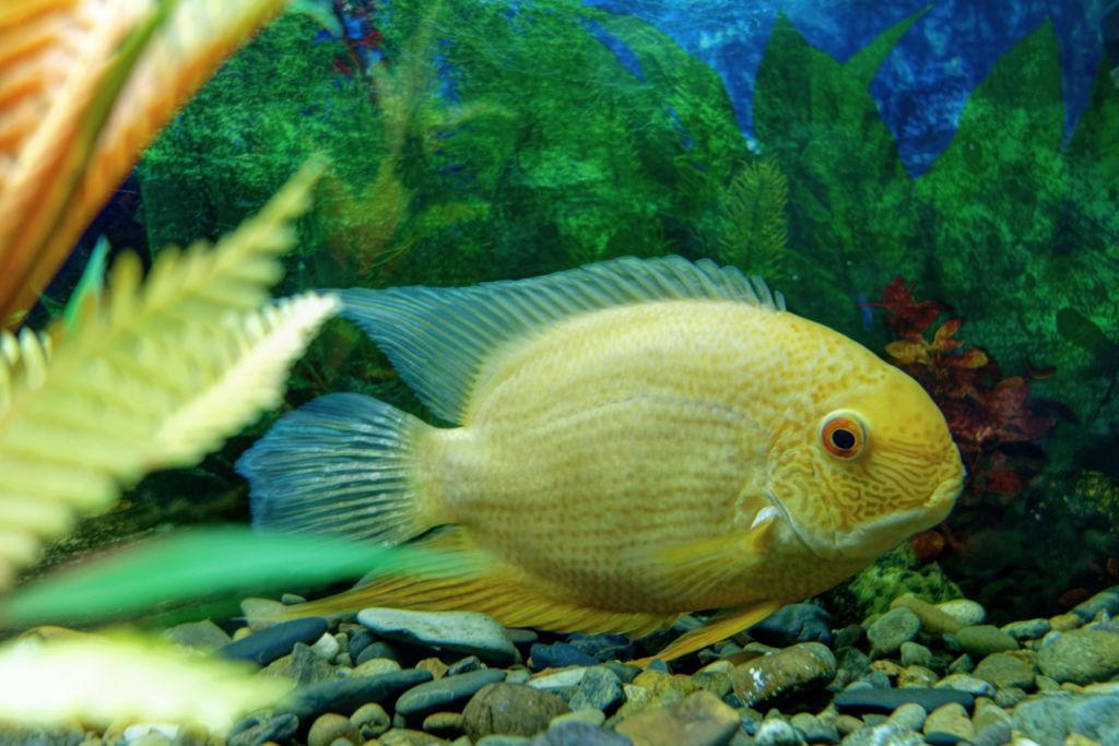 Нерест цихлазомы северум в аквариуме