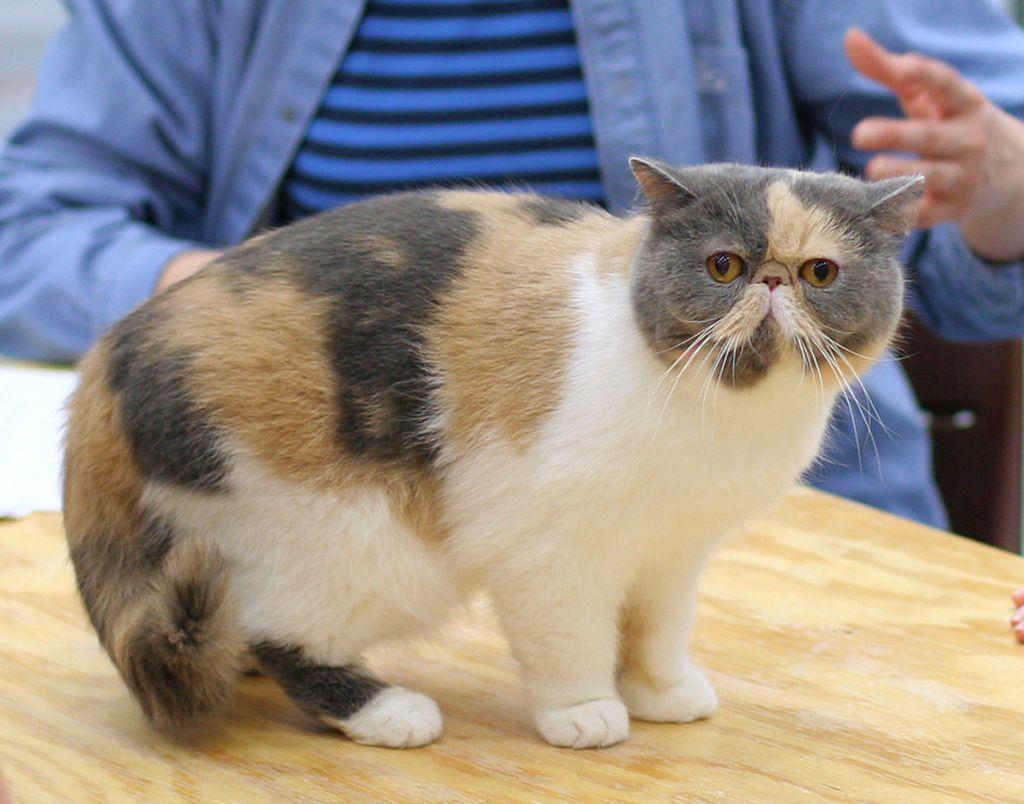 Окрас у экзотической кошки может быть разным