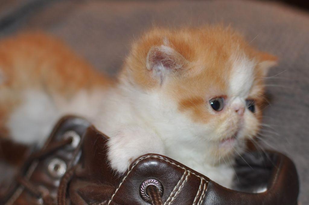 Котенка экзота лучше покупать в питомнике