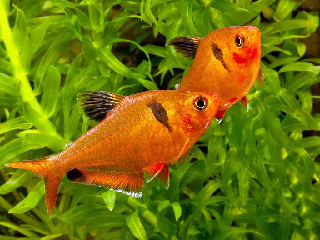 Рыбка минор
