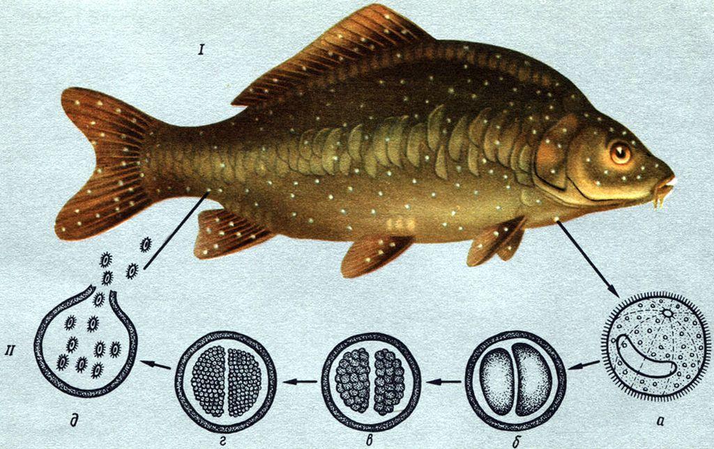 Ихтиофтироз возникает при занесении в аквариум вирусной инфузории