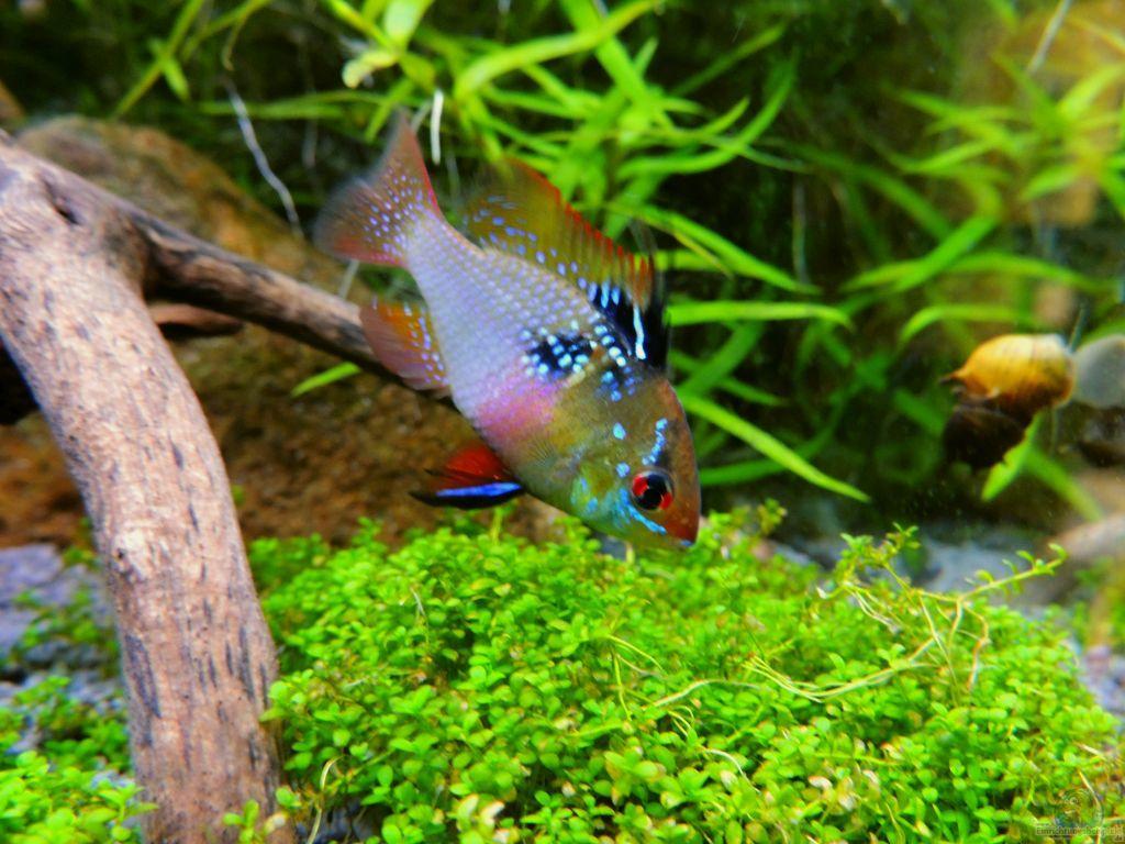 Апистограммы рамирези - нежные и достаточно болезненные рыбки