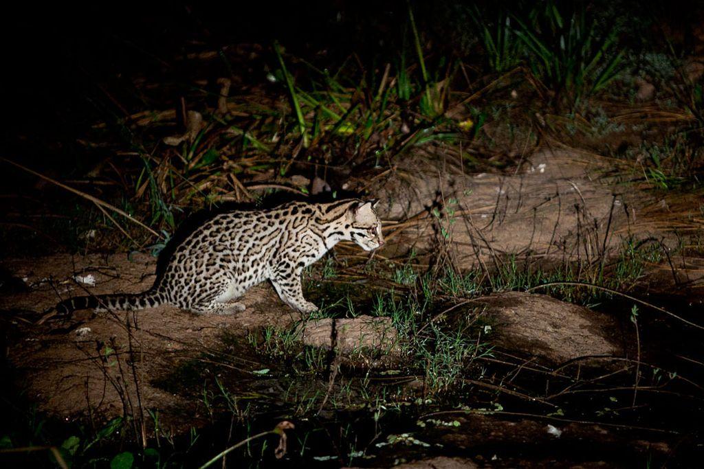 Хищное животное предпочитает ночной образ жизни