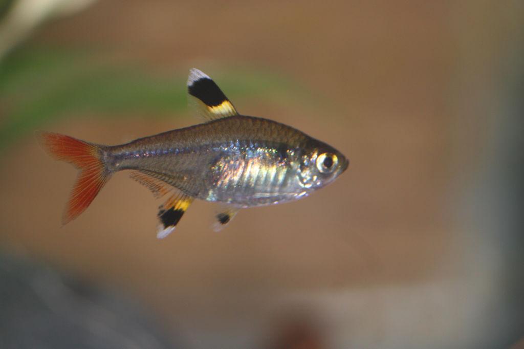 Тетра - небольшая рыбк