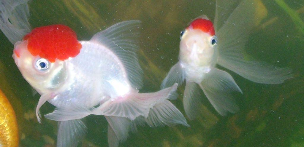 Золотая рыбка питается как сухим кормом, так и свежим мотылем