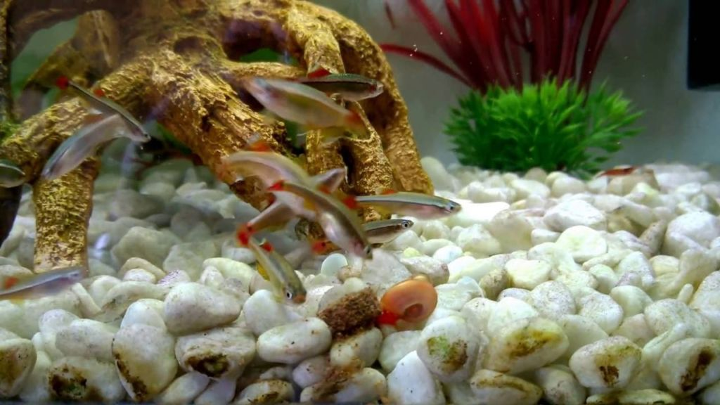 Дно аквариума для кардинала засыпают песком или галькой