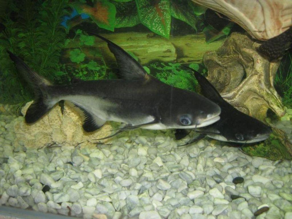 В аквариумных условиях пангасиус размножается только с гормональными инъекциями