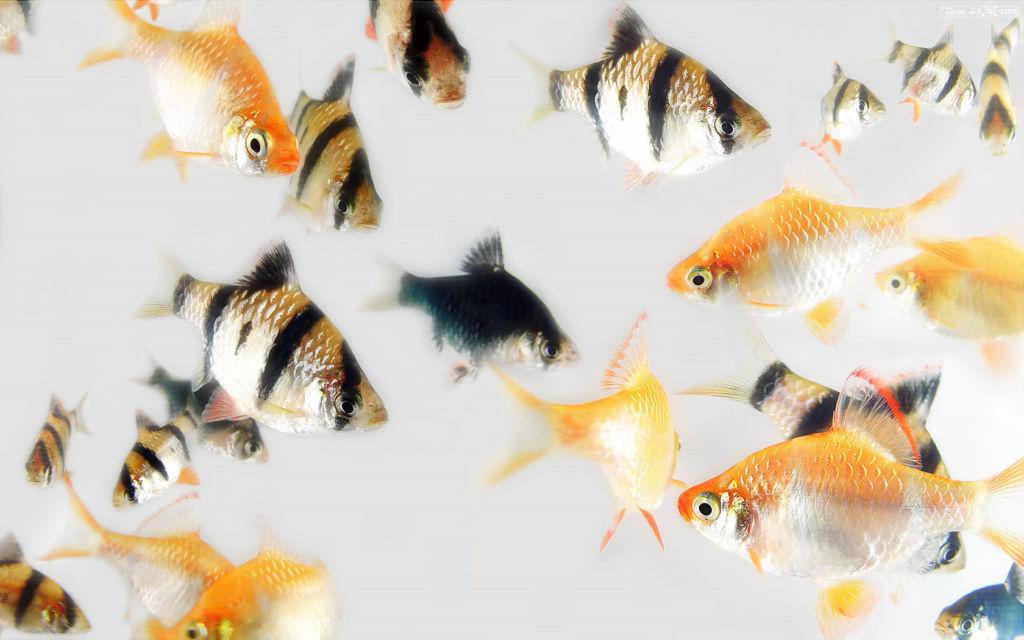 Стаей барбусы могут атаковать даже крупную рыбу