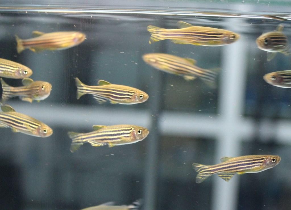Кормление рыбок данио