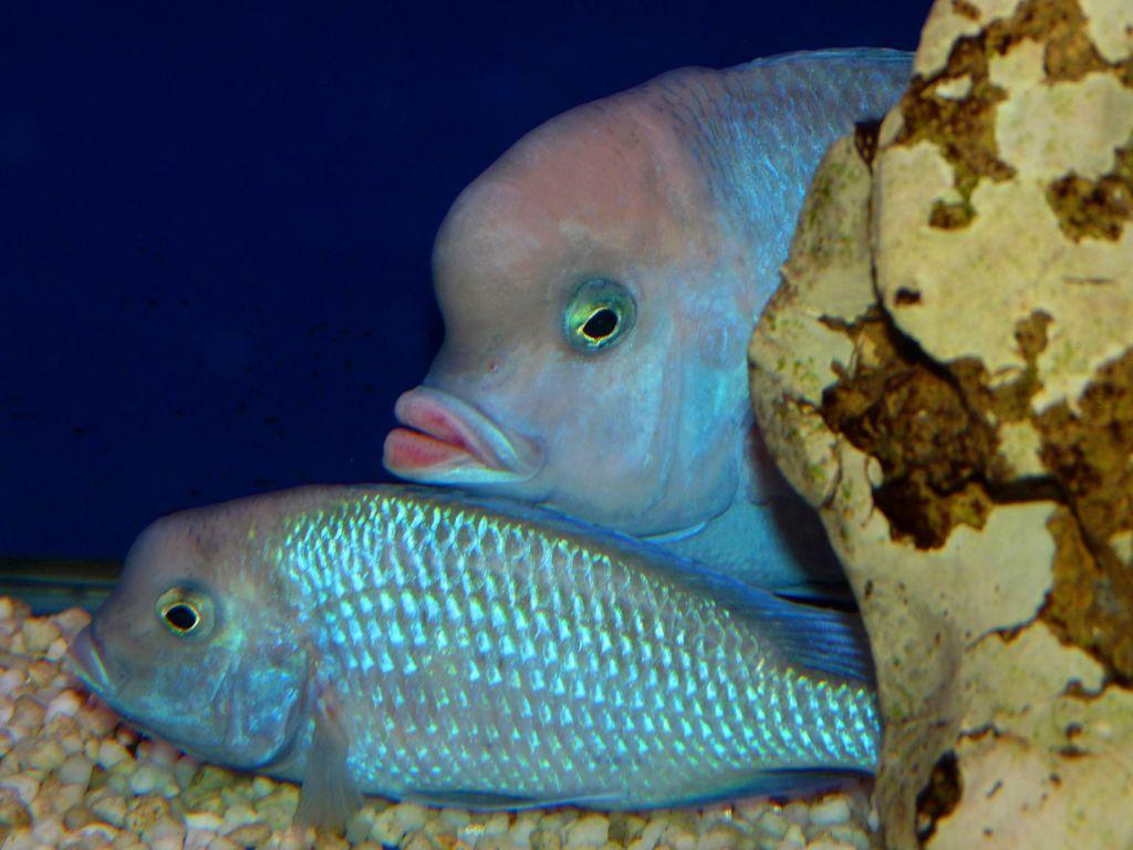 Рыба голубой дельфин