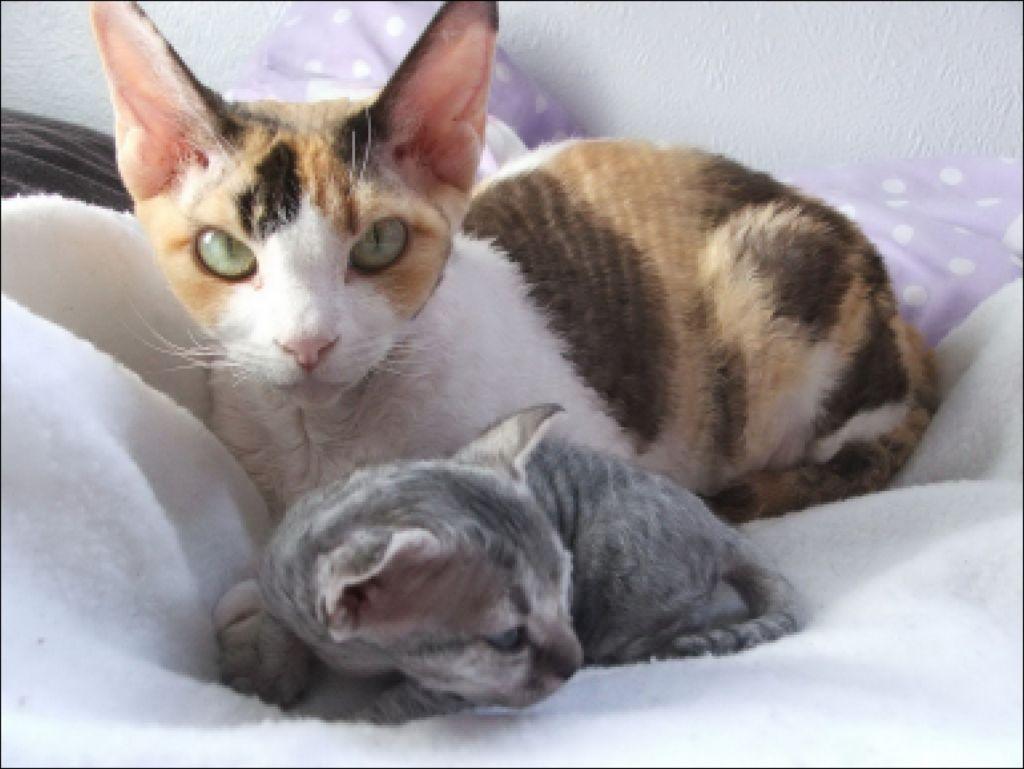 Кошка и котенок Девон-рекс