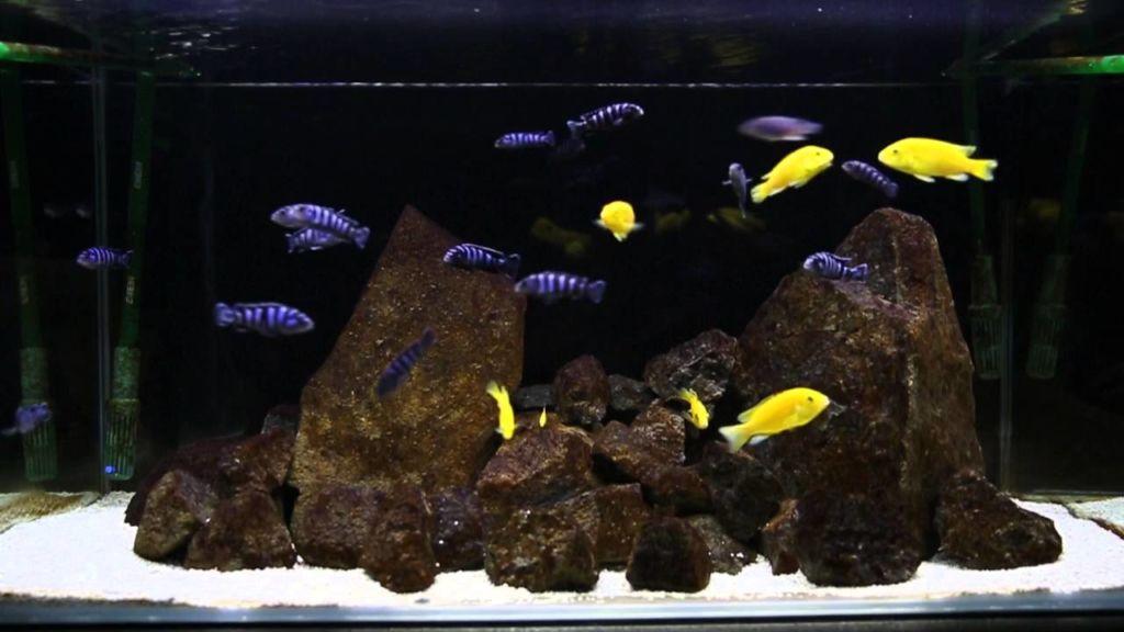 Еллоу часто не воспринимают водных животных, имеющих одинаковый цвет и форму тела.