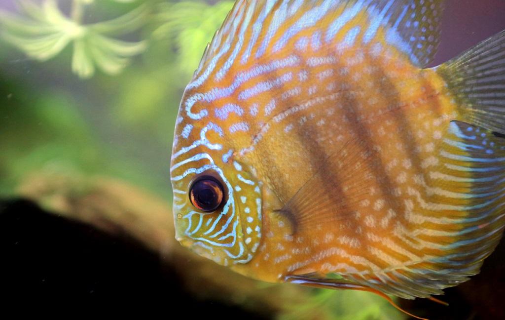 Лабиринтовые рыбки