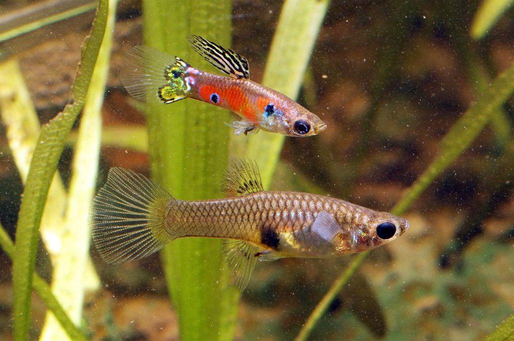 В пятидесятилитровый аквариум можно поселить десять пецилий