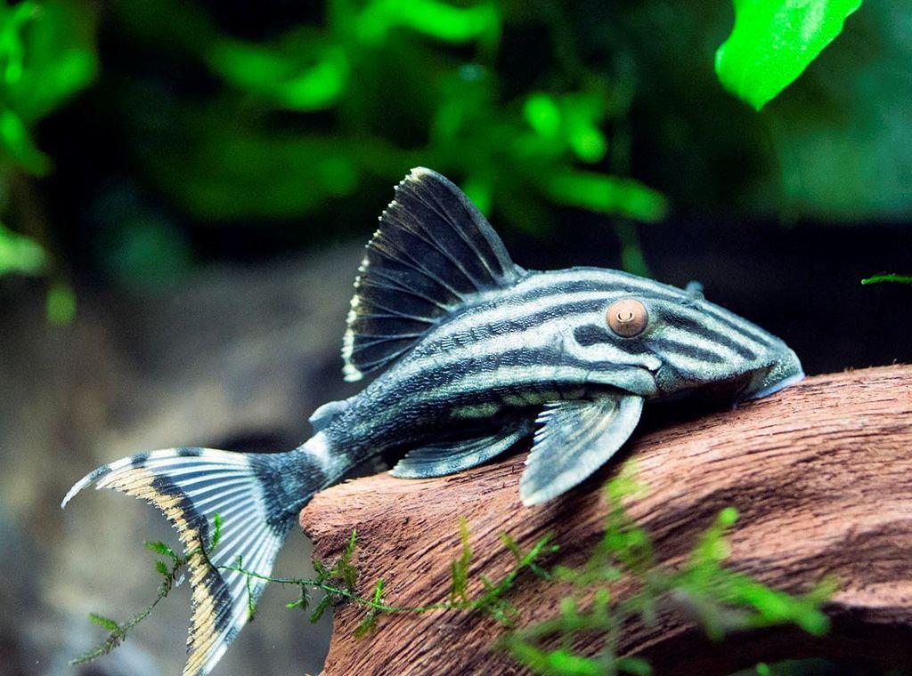 Панак чернолинейный является одной из рыбок-долгожителей
