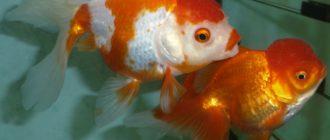 Описание и характеристика золотых рыбок
