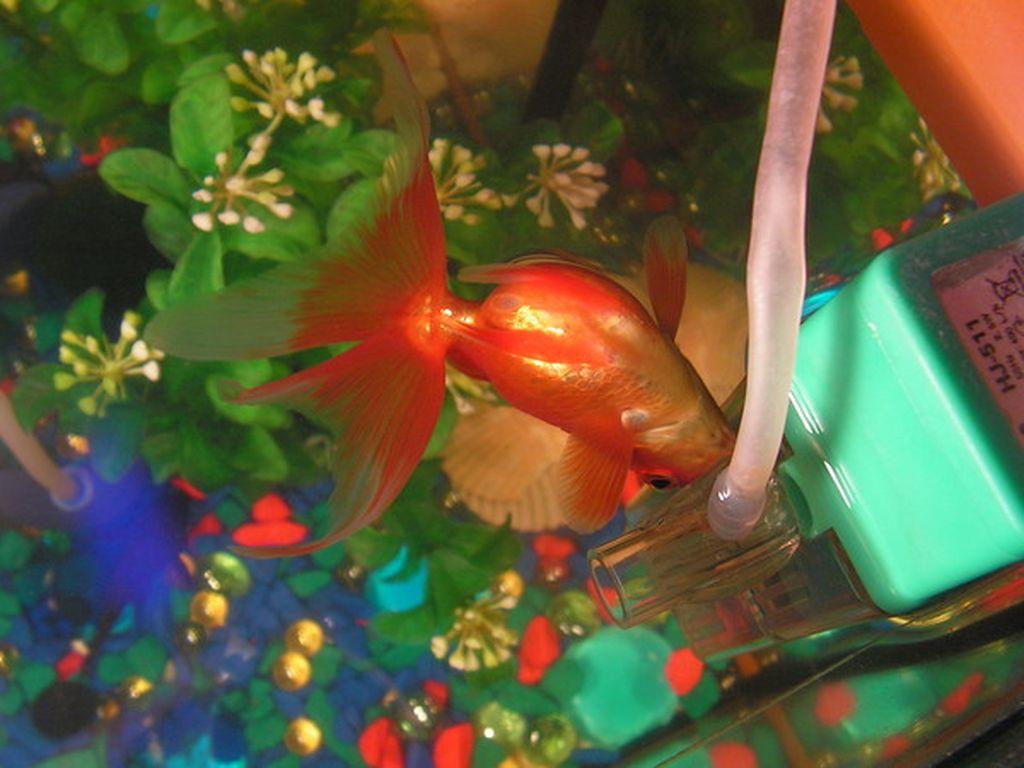 Болезнь перевертыш у золотой рыбки