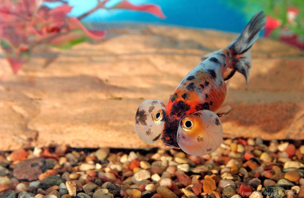 Золотые рыбки любят копаться в грунте