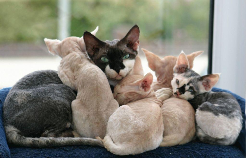 Кошка Девон-рекс с котятами