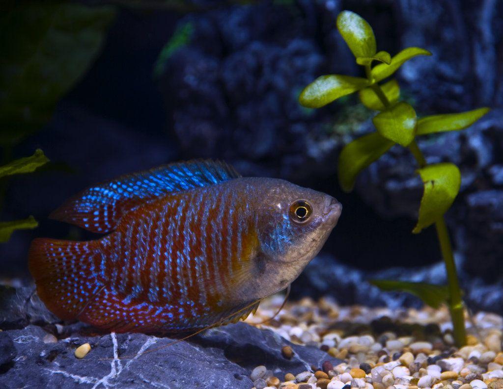 Для размножения в аквариум с самкой помещают самца и добавляют растения