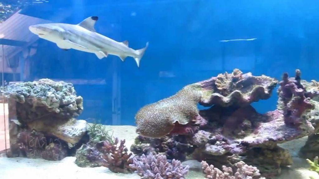 Черноплавничная акула