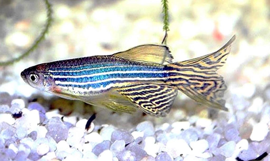 Данио рерио очень дружелюбные рыбки
