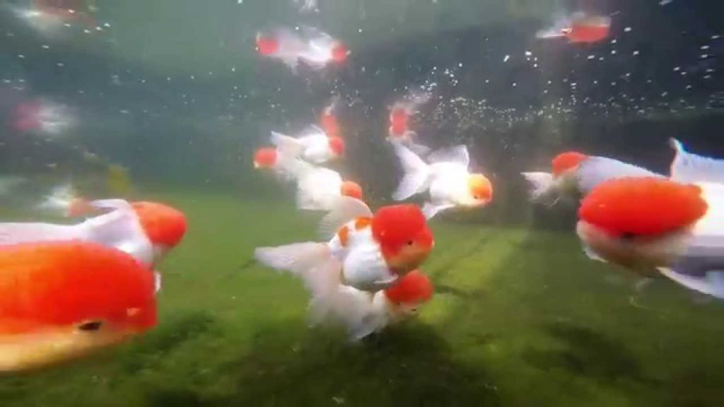 Оранда любит среднюю воду в аквариуме