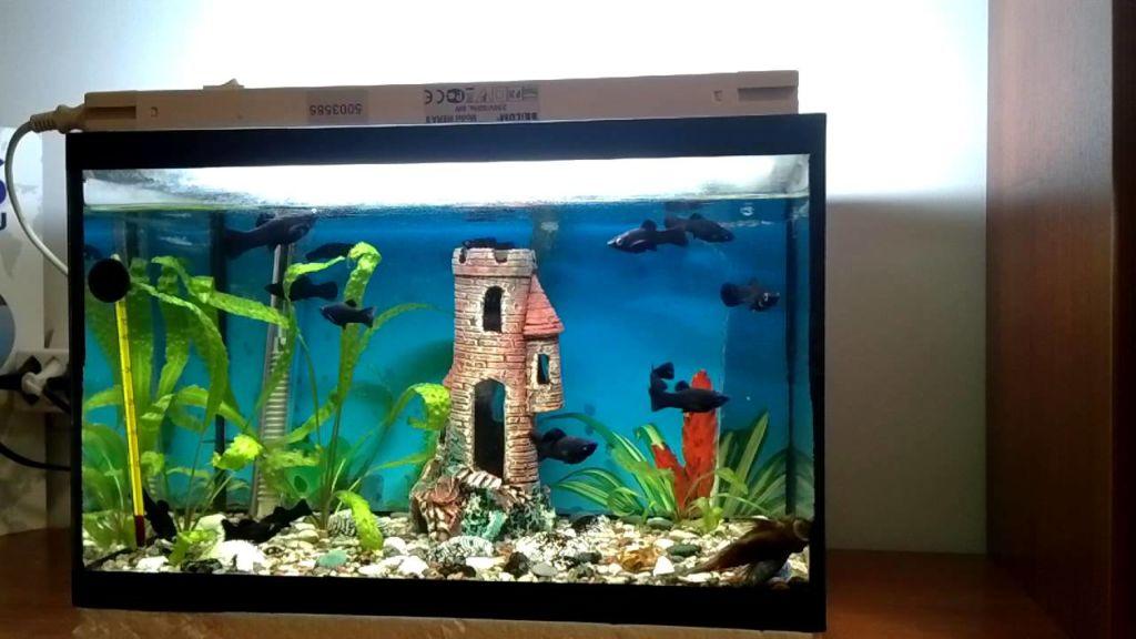 аквариум с моллинезиями