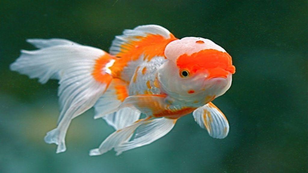 Оранда - удивительная рыбка