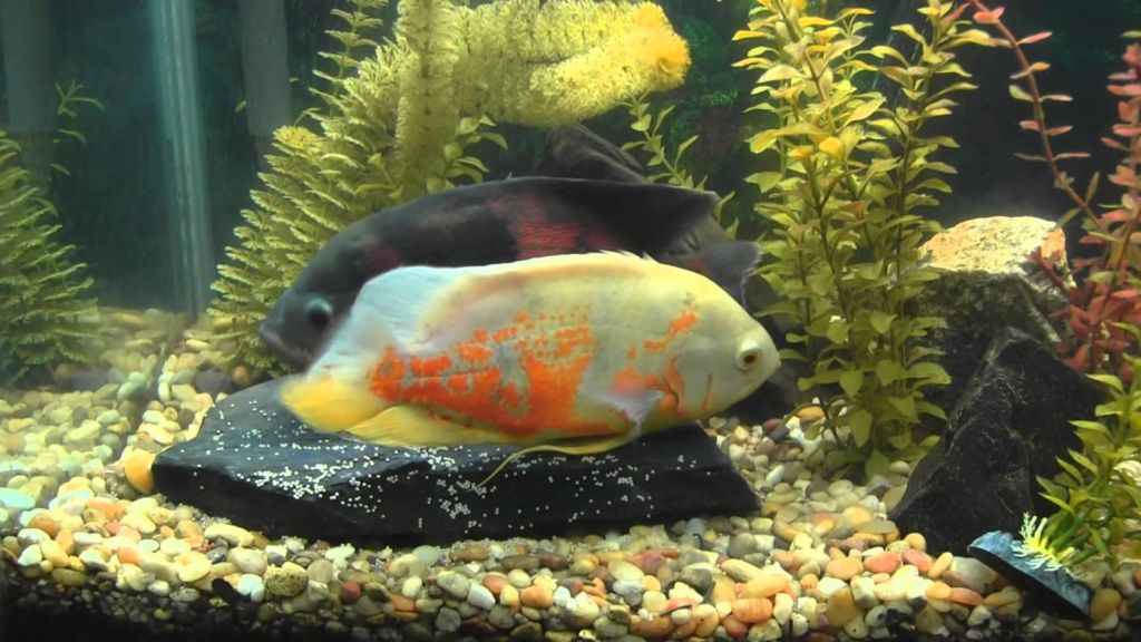 Большинству видов рыб присуще половое размножение