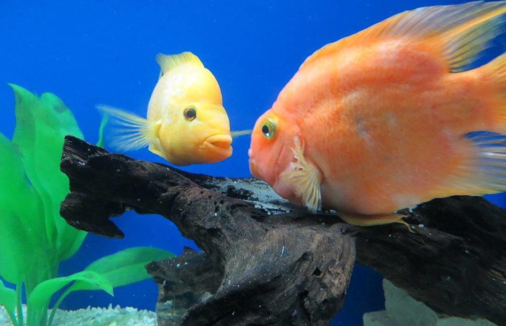 Цихлида - агрессивная рыба