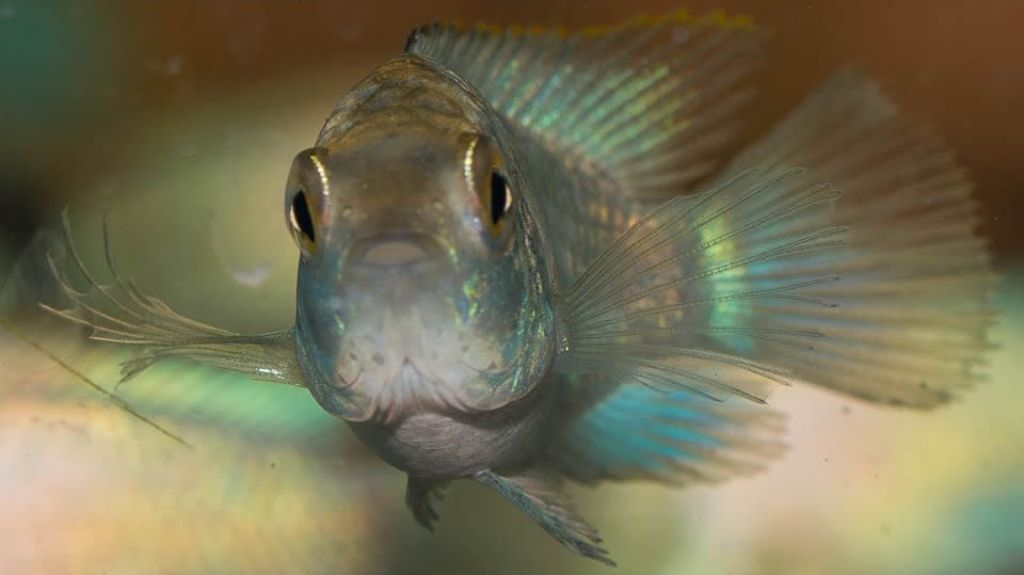 Окрас наннакары неоновой может быть от бирюзового до ярко-голубого
