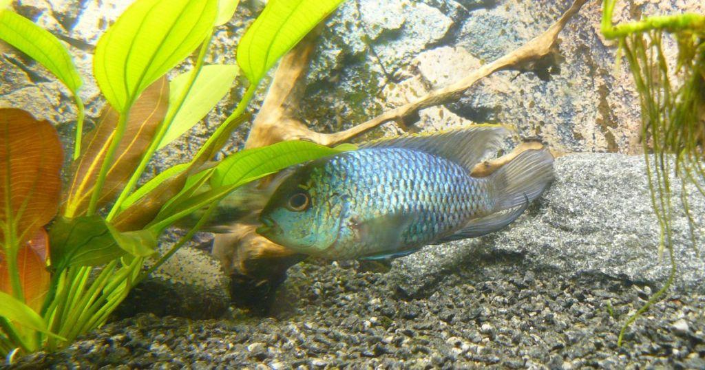 Наличие и необходимость растений зависит от характера рыбки