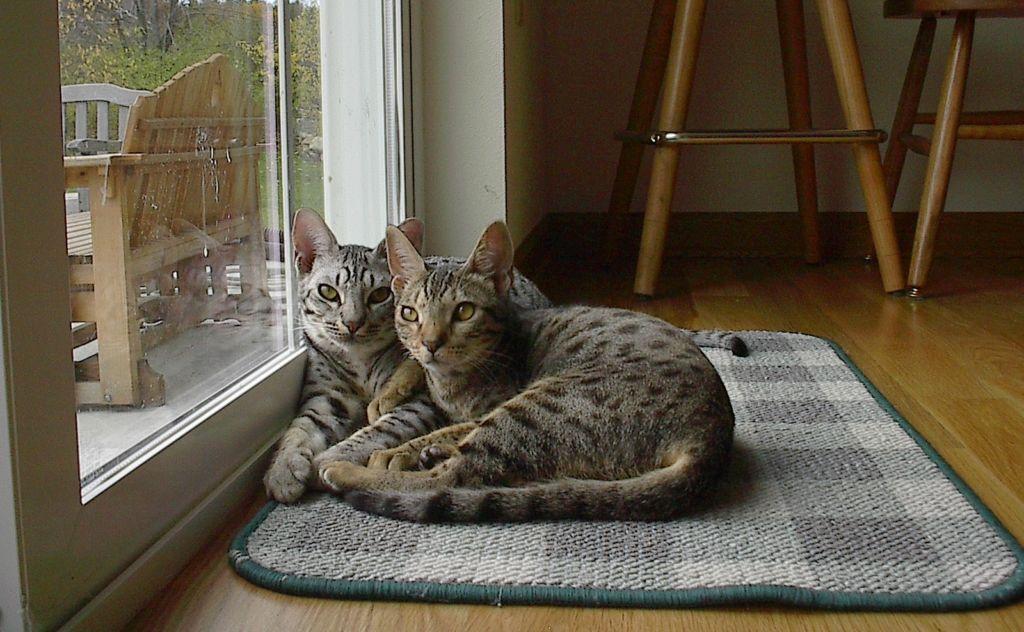 Две калифорнийские сияющие кошки возле окна